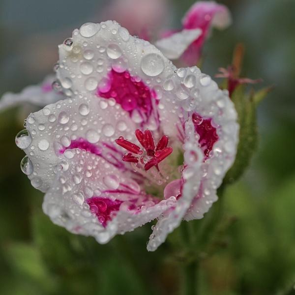 Geranium raindrops