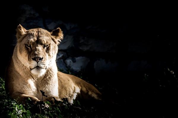 Lion by Lakkou