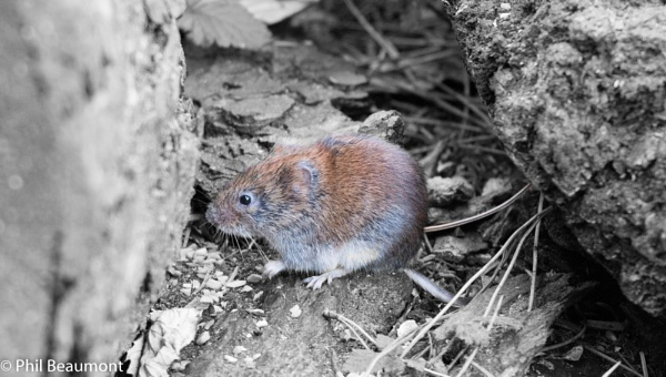arty farty bank vole by PBeaumont