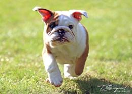 Man's best freind, Dexter the bulldog