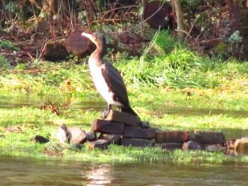cormoranr