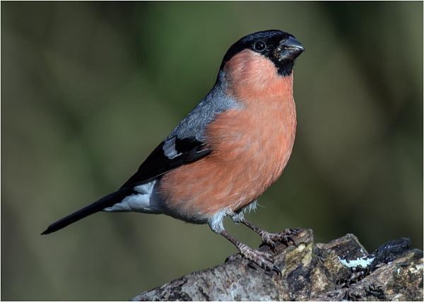 Bullfinch(Male) by dven