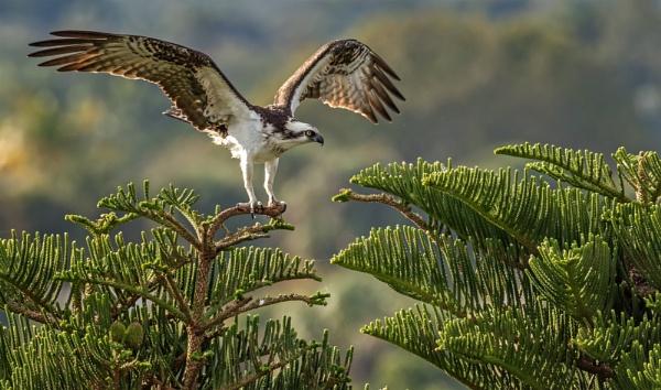 Osprey by DBoardman