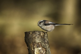 Long Tailed Tit in the woods