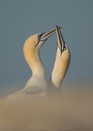 Photo : Gannet courtship