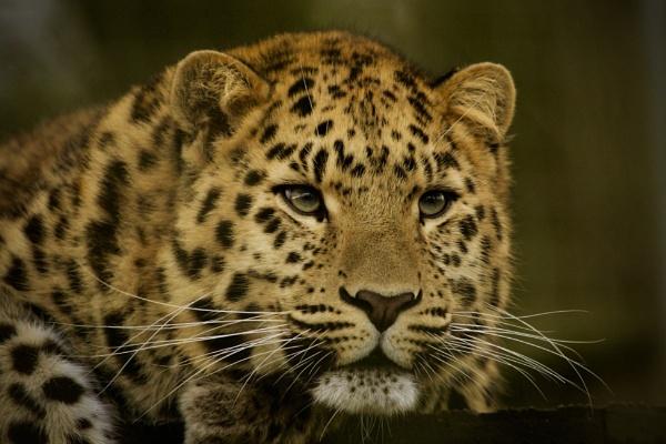 Amur Leopard, Marwell 2018 by martin174