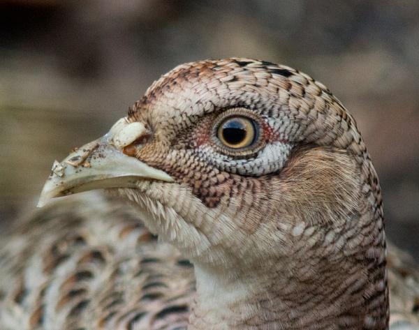 Pheasant\'s eye by oldgreyheron