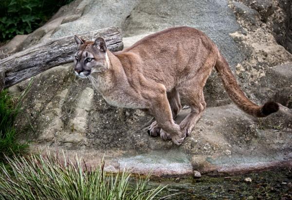 Puma Leap by Draig37