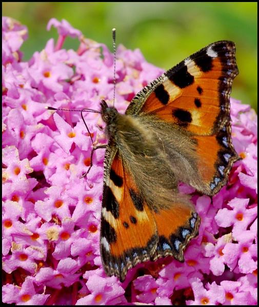 Small Tortoiseshell Butterfly..