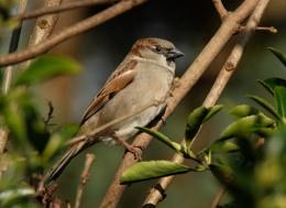 Male House Sparrow.