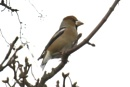 hawfinch by colin beeley