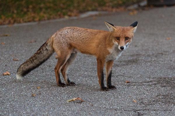 Dog Fox by rontear