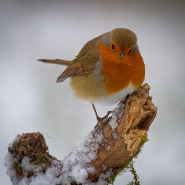 Snow Robin by altosaxman