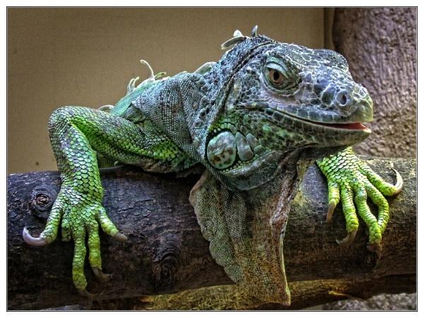 Iguana by PhilT2