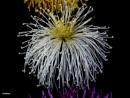 White spider Chrysanthemum by debu