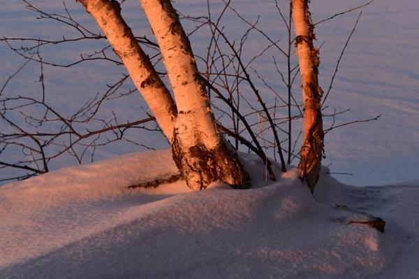 Silver birch at sunset by djh698