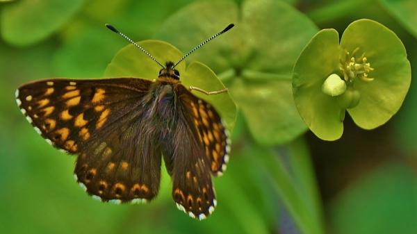 Duke of Burgundy Butterfly by georgiepoolie