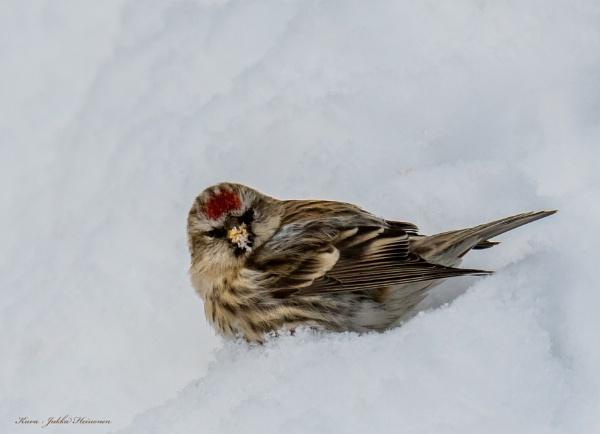 Common Redpoll . by Jukka