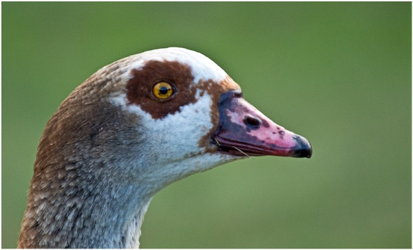 Egyptian Goose by Fred263