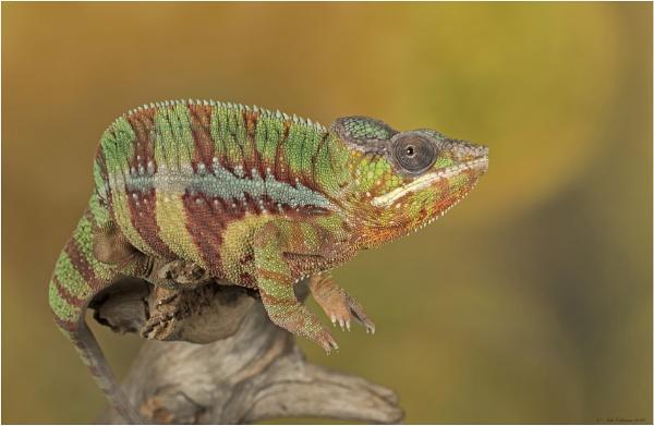 Chameleon by ade123