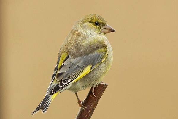 Greenfinch (M) Carduelis chloris by bobpaige1