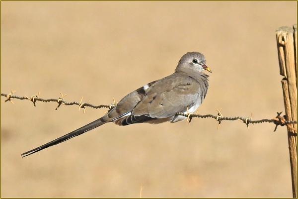 Namaqua Dove (Oena capensis) (Female) by Moebee