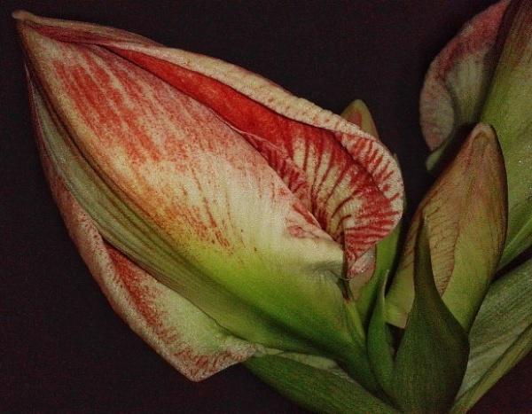 Amaryllis by KrazyKA