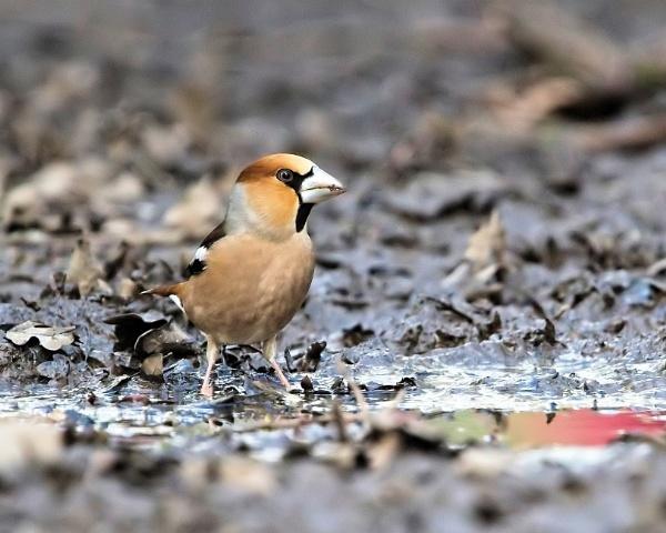 Hawfinch (Coccothraustes coccothraustes) by DaveNewbury