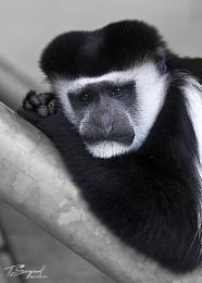 Monkey contemplating life