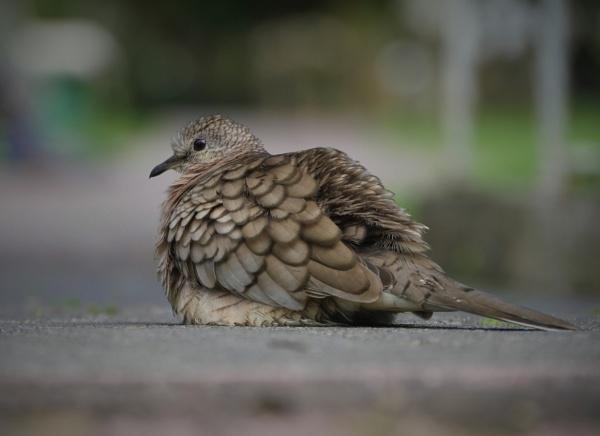 Inca Dove by hsreid