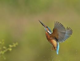 Rising Kingfisher