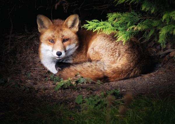 Mr Fox by Pricey