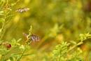 blue tiger butterflies by Steelpins