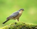 Sparrowhawk by skewey