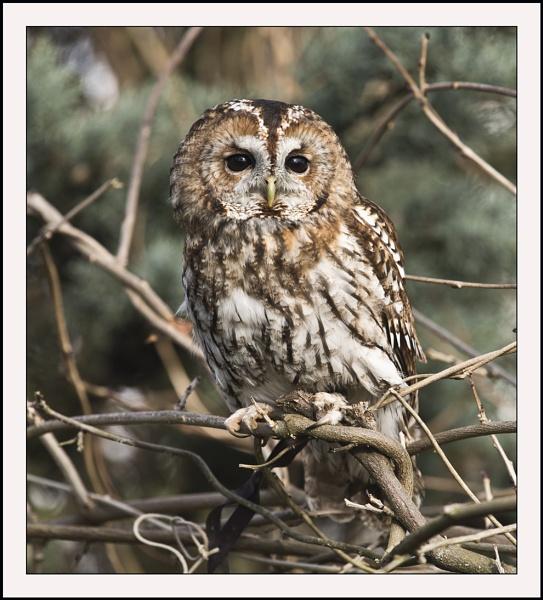 UntitledTawny Owl