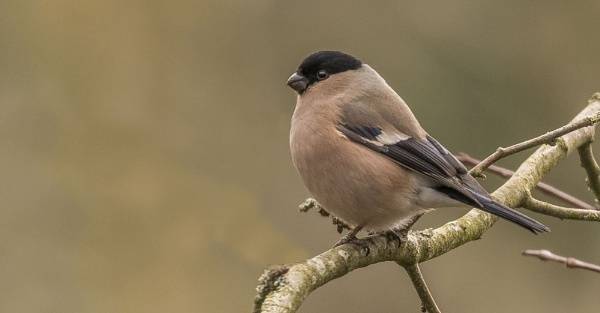 Bullfinch by Mike_Smith