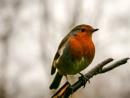 Robin by RoyChilds