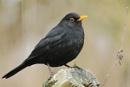 Blackbird by colin beeley