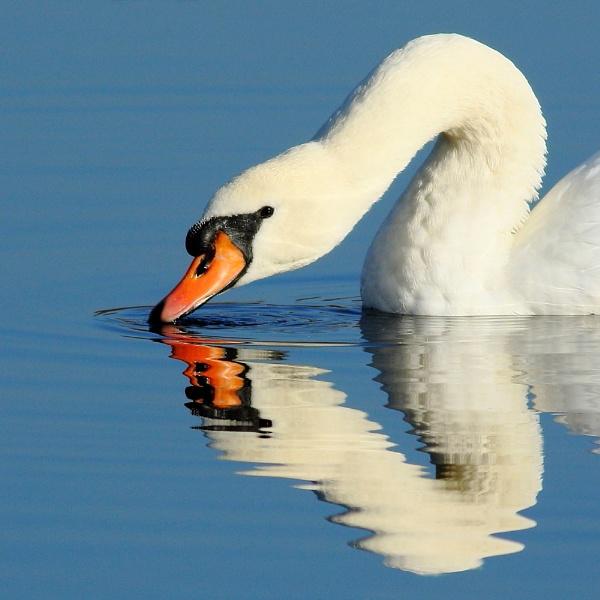 Swan Symmetry... by TerryMcK