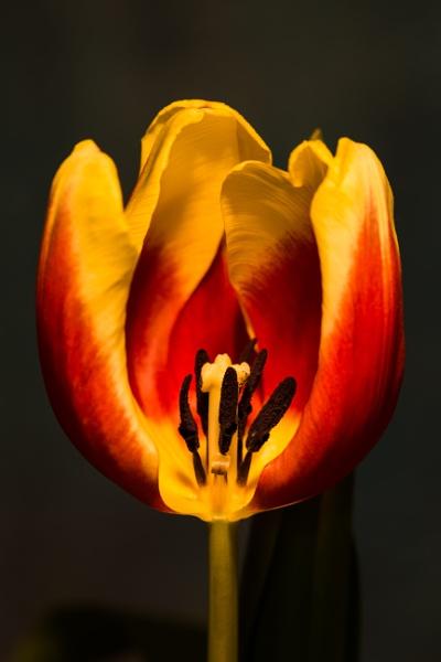 Tulip IV by optik