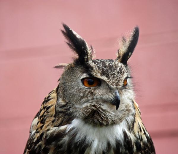 LONG EARED OWL by JOKEN