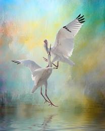 Dancing White Ibises