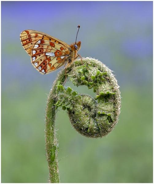 Pearl Bordered Fritillary. by NigelKiteley