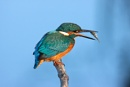 Kingfisher (Alcedo atthis) by Ray_Seagrove
