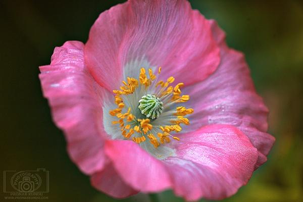 ~ Blossom ~ by pronabk