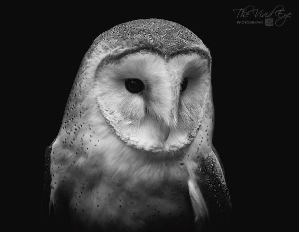 Barn Owl by MartinWait