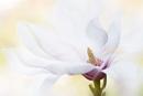 Magnolia by jackyp