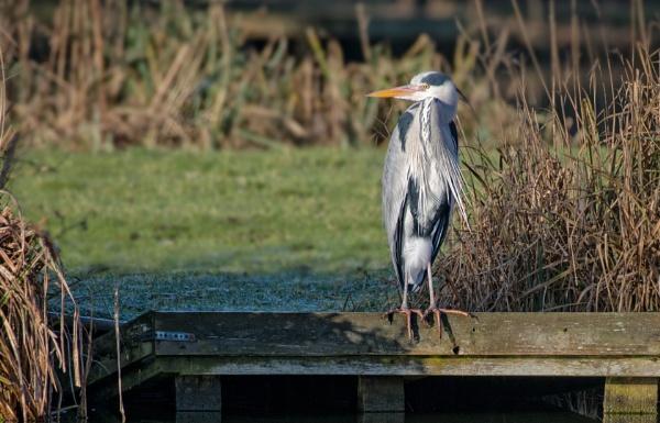 Heron by carper123