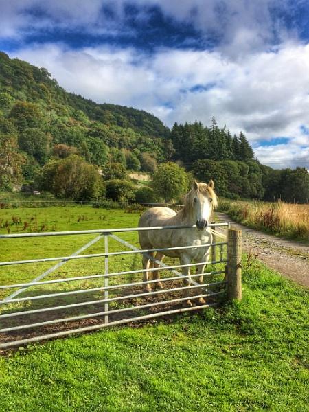 Scottish pony