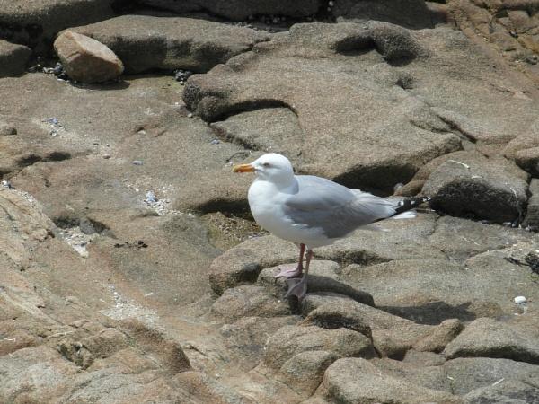 Seagull model